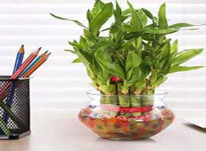 Green Lucky Bamboo Two Layer Round Glass Pot